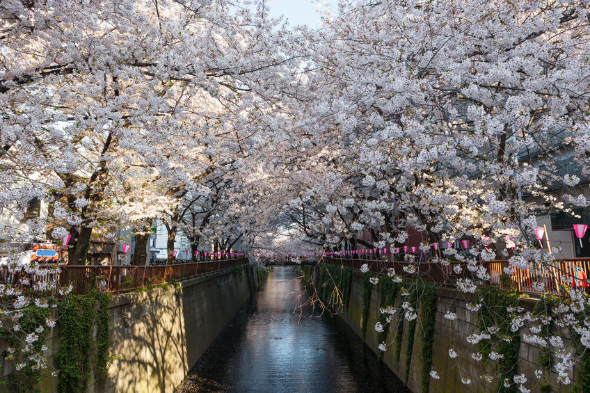 Toyko cherry blossoms