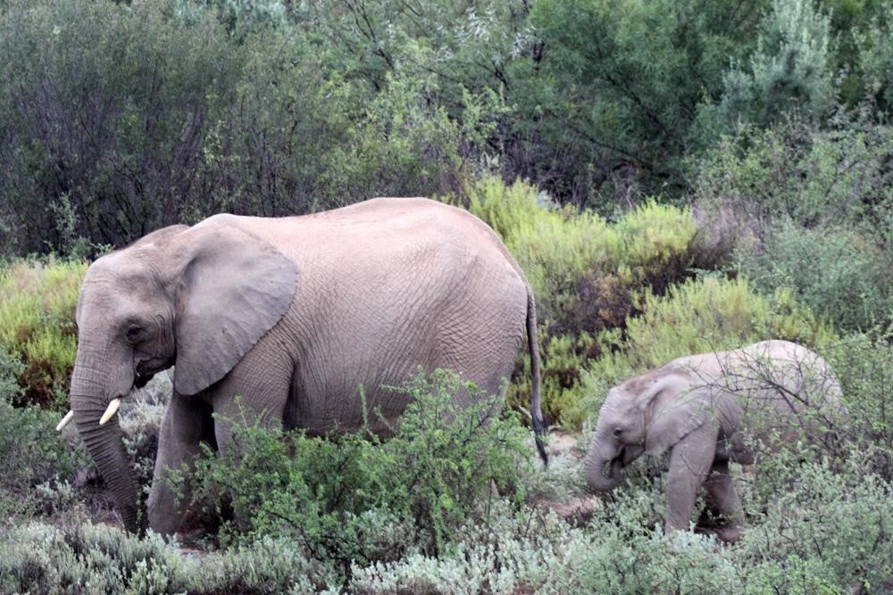Elephants of South African plains