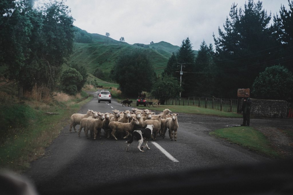 Sheep on the road near Pipiriki