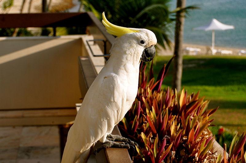 Cockatoo on Hayman Island