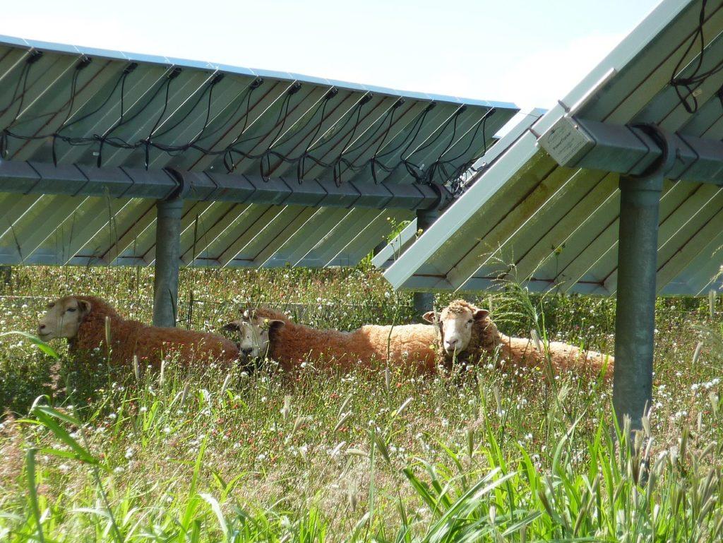 Sheep on a solar farm in Lanai Hawaii