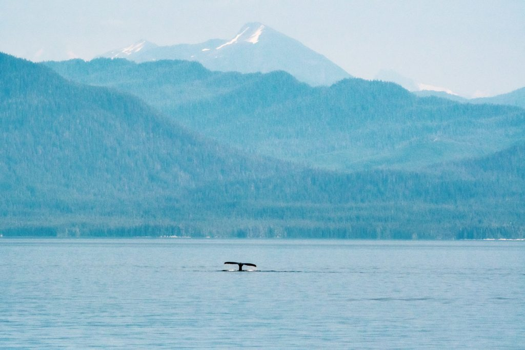 Humpback whale breaching, southeast Alaska